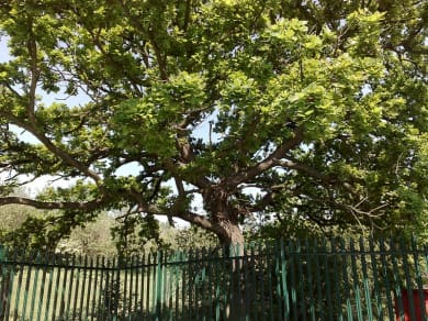 musto_car_park_tree